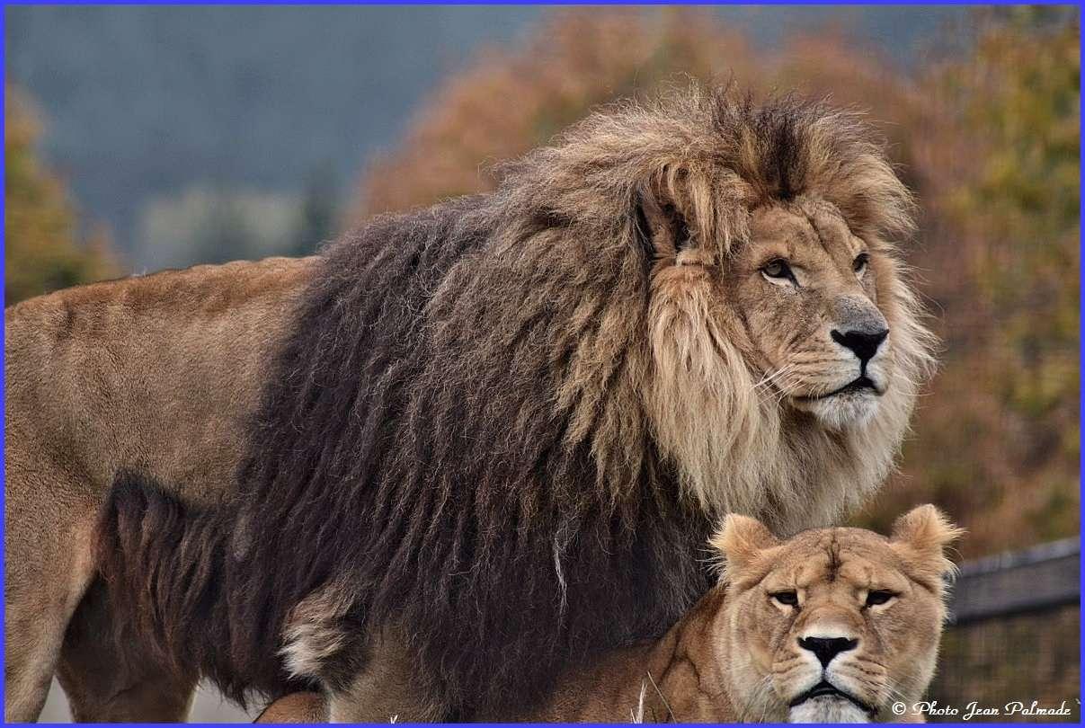 Lions Dsc_4616