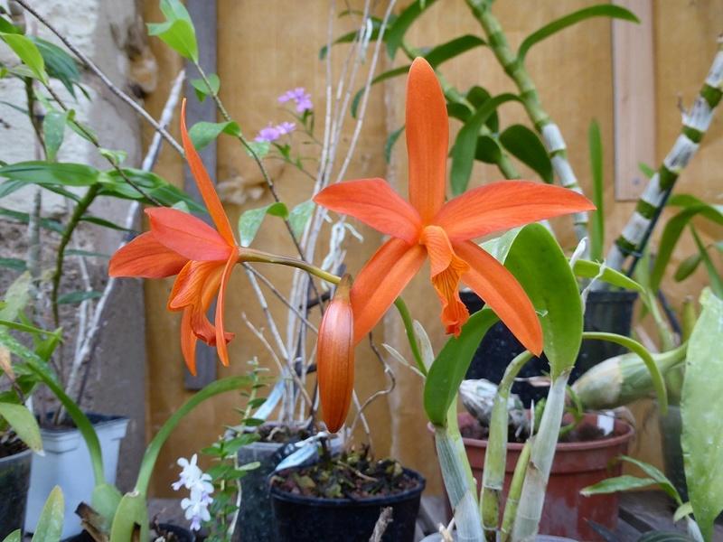 Cattleya (x harpophylla ?) P1130013