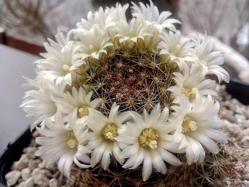 Mammillaria viereckii V410