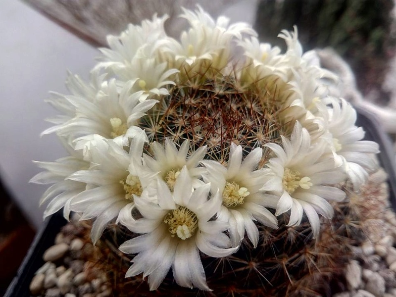 Mammillaria viereckii V610