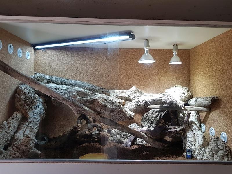 Varanus gilleni Newter10