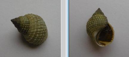 Echinolittorina millegrana - (Philippi, 1848)  Echino10