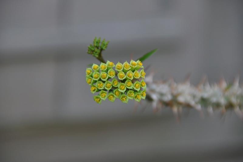 Euphorbia capuronii Dsc_0020