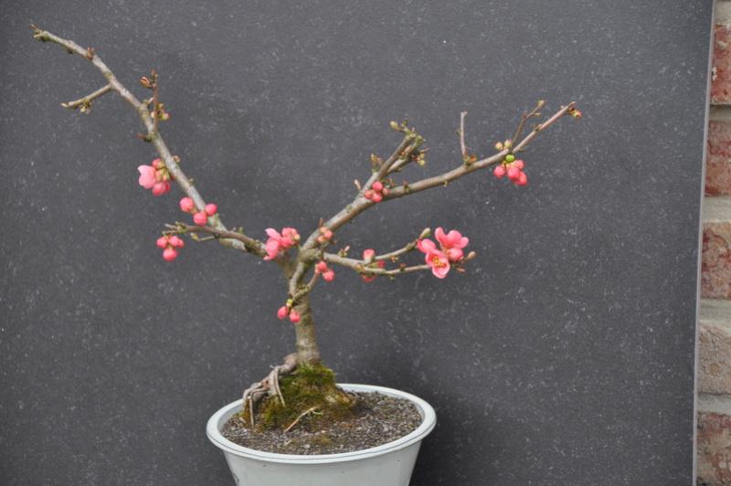 Bonsai en fleur Dsc_0117