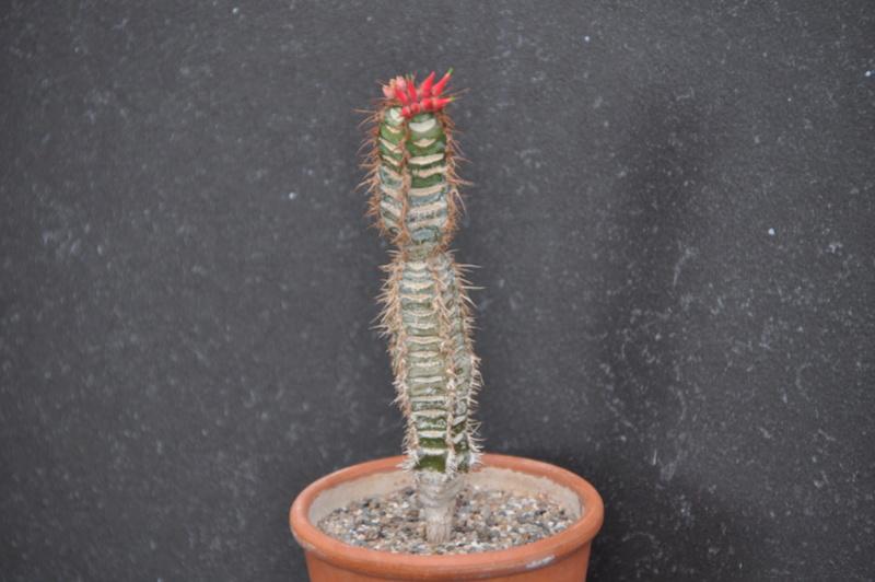 Euphorbia neohumbertii - Page 2 Dsc_0215