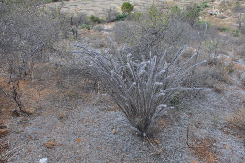 Euphorbia croizatii Dsc_0411