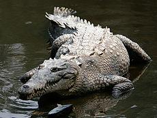 Cocodrilo americano Crocod10