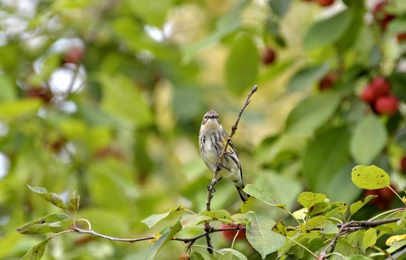 Grand corbeau et paruline à croupion jaune _dsc2611