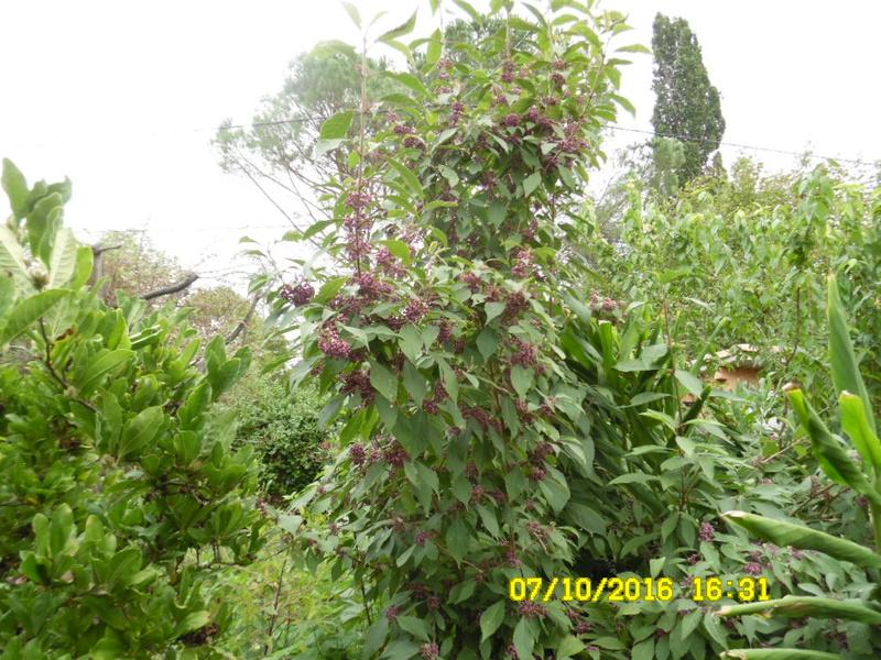 Callicarpa dichotoma 'Issai' - arbuste aux bonbons d'Amérique  Sam_0910
