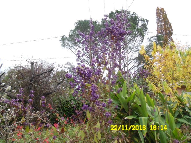 Callicarpa dichotoma 'Issai' - arbuste aux bonbons d'Amérique  Sam_0911