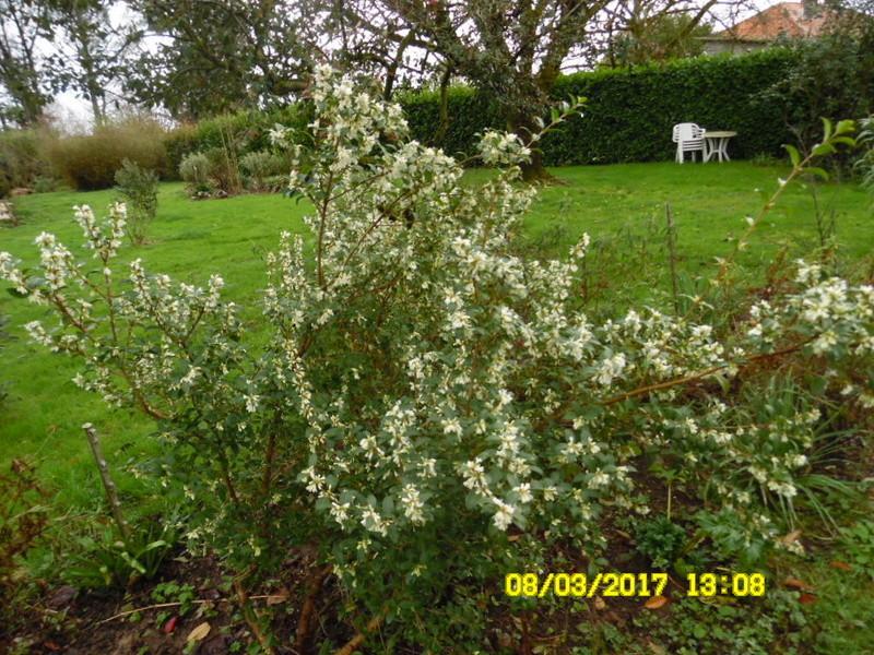 plante a identifier 1069.....//Osmanthus Burkwoodii Sam_1063