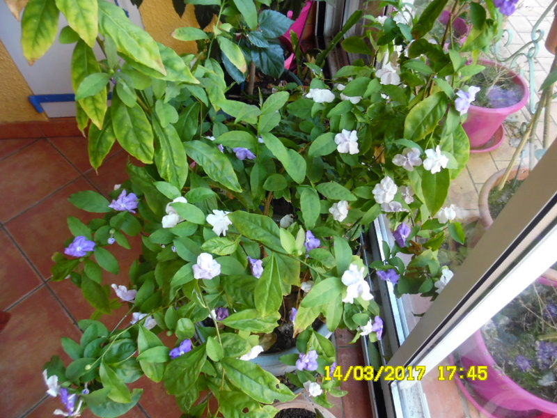 plante a identifier 1083...///// Brunfeldia australis Sam_1064
