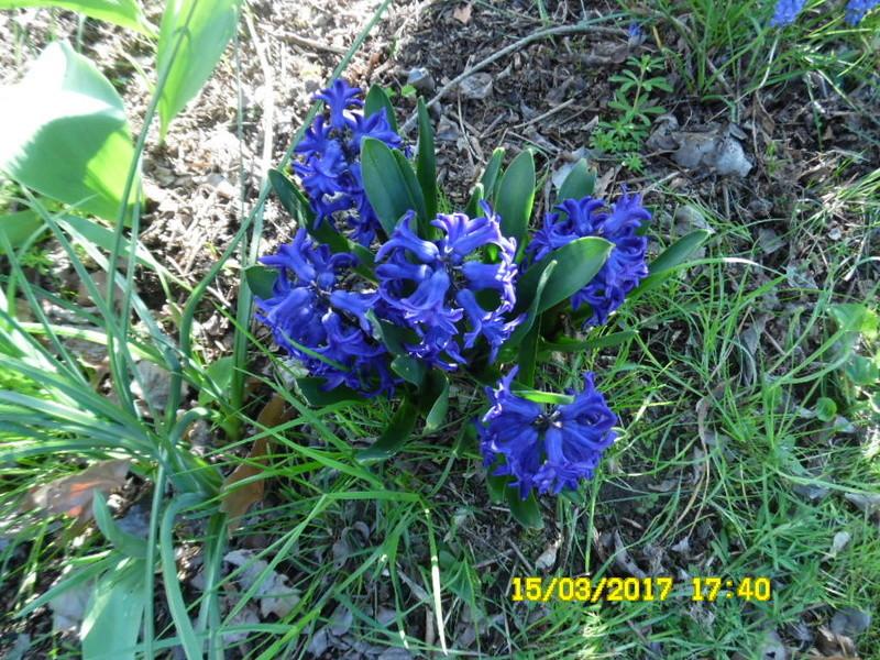 plante a identifier 1086...////////Jacynthe blue pearl  Sam_1065