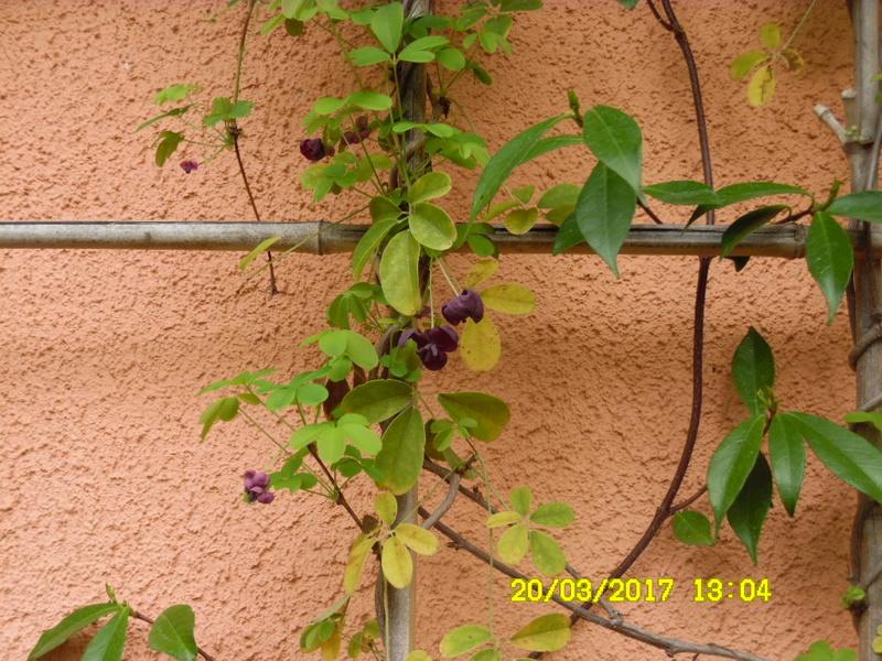 plante a identifier 1090 // Akebia quinata Sam_1066