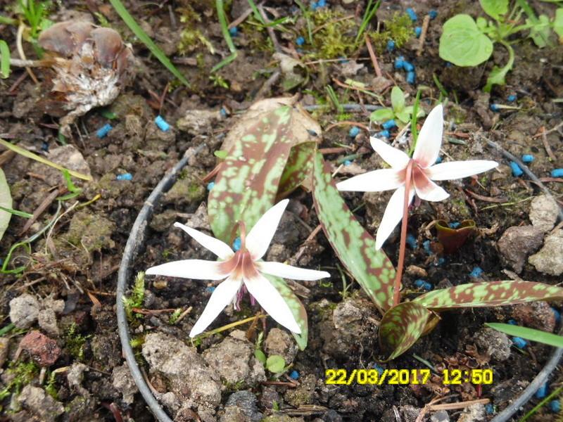 plante a identifier 1098  .....Résolu Erythronium albidum! Sam_1067