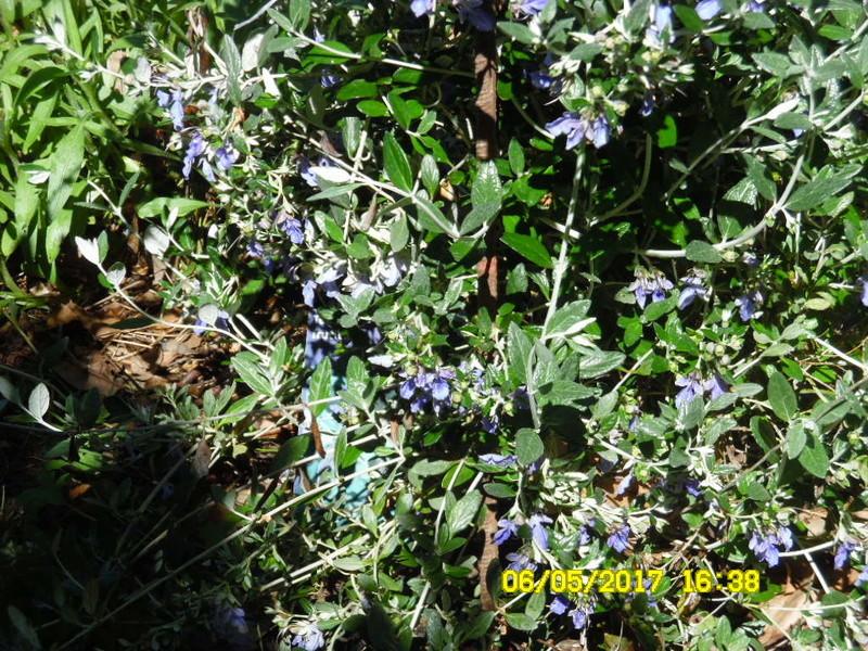 plante a identifier 1264 // Teucrium fruticans Sam_1433
