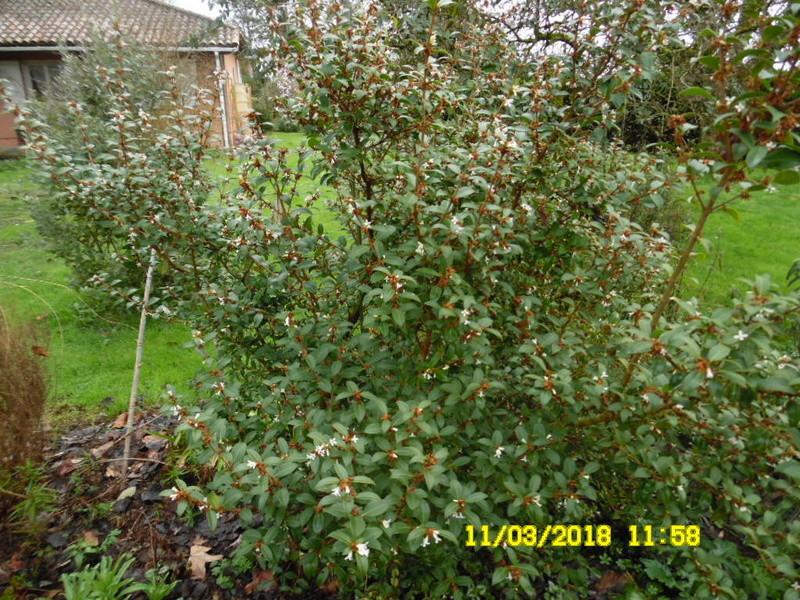 plante a identifier 1069.....//Osmanthus Burkwoodii Sam_1434