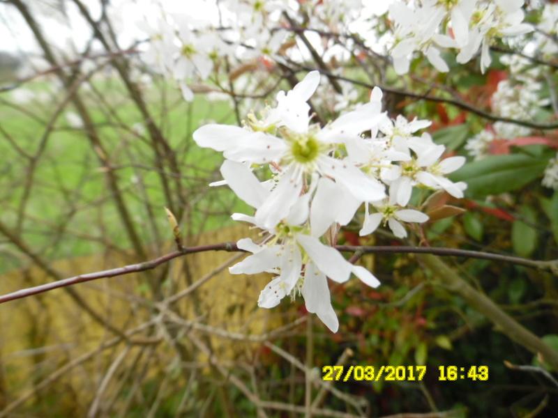 plante a identifier 1121//....fleur d'amelanchier Sam_1438