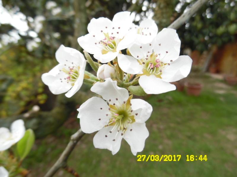 plante a identifier 1123//////////fleur de poirier Sam_1439