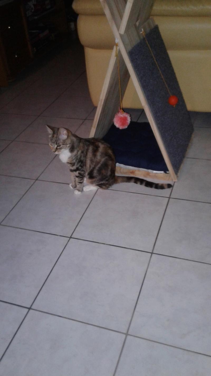 MOLKIE chatte européenne tigrée tricolore née le 30/08/216 20171015