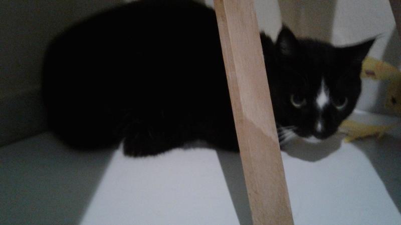 SCOUBI chat européen noir et blanc né en juin 2012  20180415