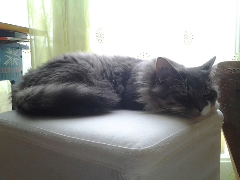 jupiter - JUPITER, chat mâle  gris Tabby blanc poils mi longs, né le 04/10/2014   22688610