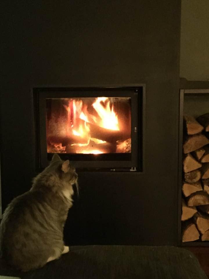 jupiter - JUPITER, chat mâle  gris Tabby blanc poils mi longs, né le 04/10/2014   23031116