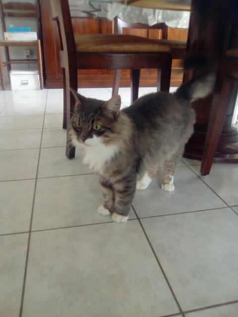 jupiter - JUPITER, chat mâle  gris Tabby blanc poils mi longs, né le 04/10/2014   Cid_im15