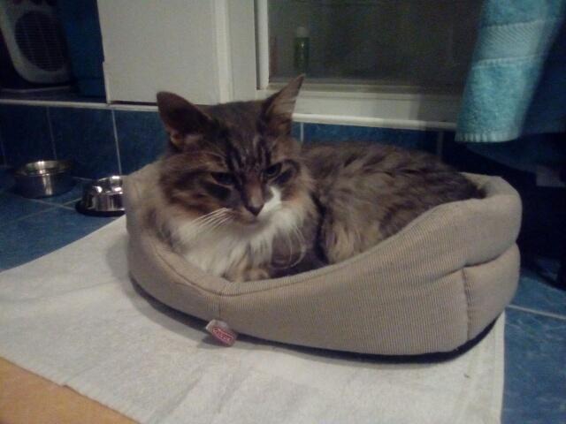 jupiter - JUPITER, chat mâle  gris Tabby blanc poils mi longs, né le 04/10/2014   Cid_im17