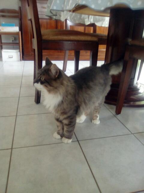 jupiter - JUPITER, chat mâle  gris Tabby blanc poils mi longs, né le 04/10/2014   Cid_im18