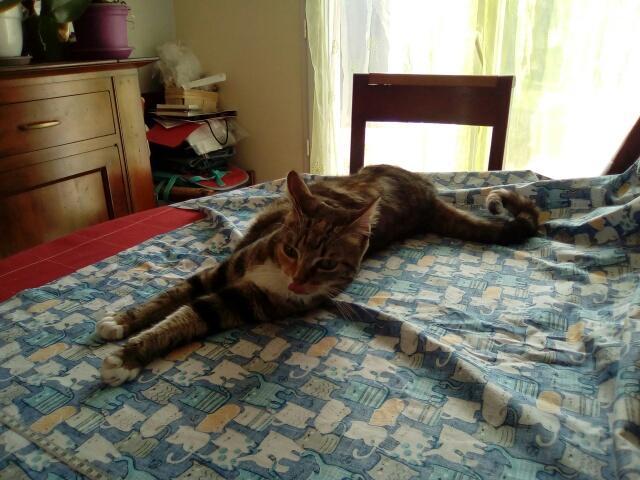 MOLKIE chatte européenne tigrée tricolore née le 30/08/216 Cid_im35