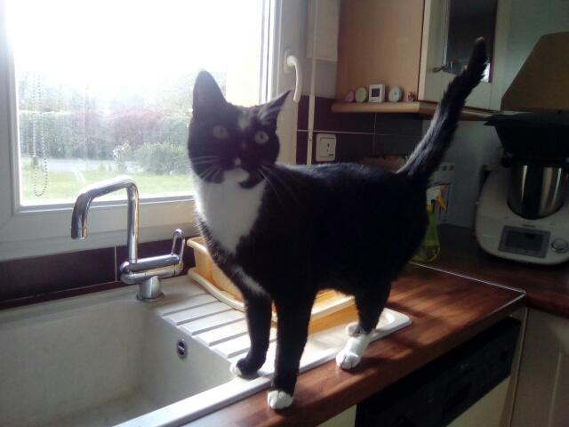 SCOUBI chat européen noir et blanc né en juin 2012  Cid_im61