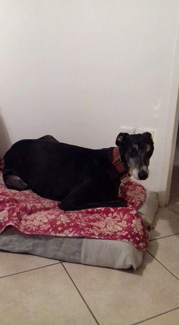 IVERNESS lévrier greyhound, 4.5 ans ...en pension dans le 72 Iverne10
