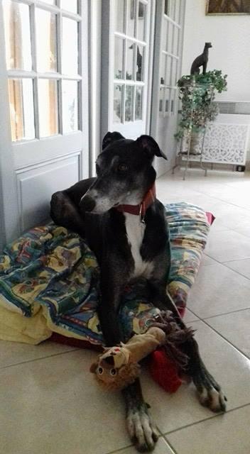 IVERNESS lévrier greyhound, 4.5 ans ...en pension dans le 72 Iverne11