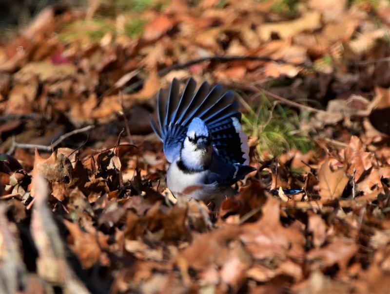 Geai bleu dans les feuilles Img_2910