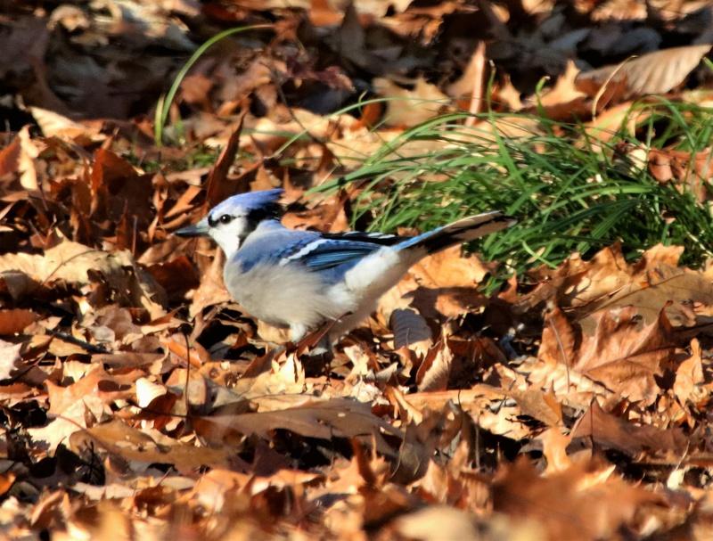 Geai bleu dans les feuilles Img_3010