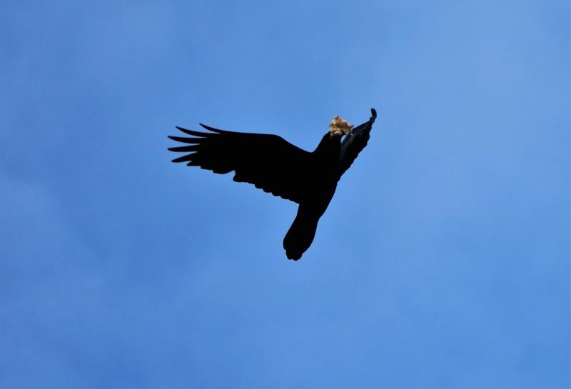 Grand corbeau Img_4412