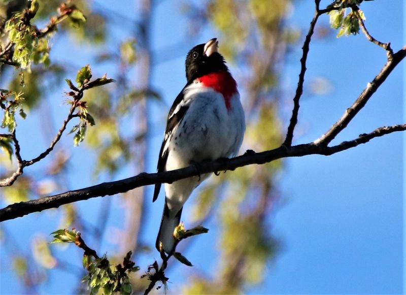 Cardinal à poitrine rose Img_9313