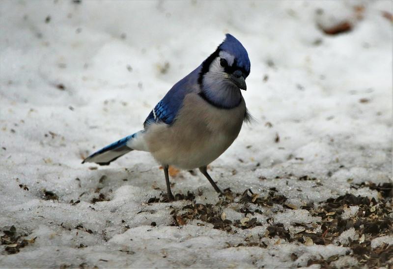 Geai bleu Superb17