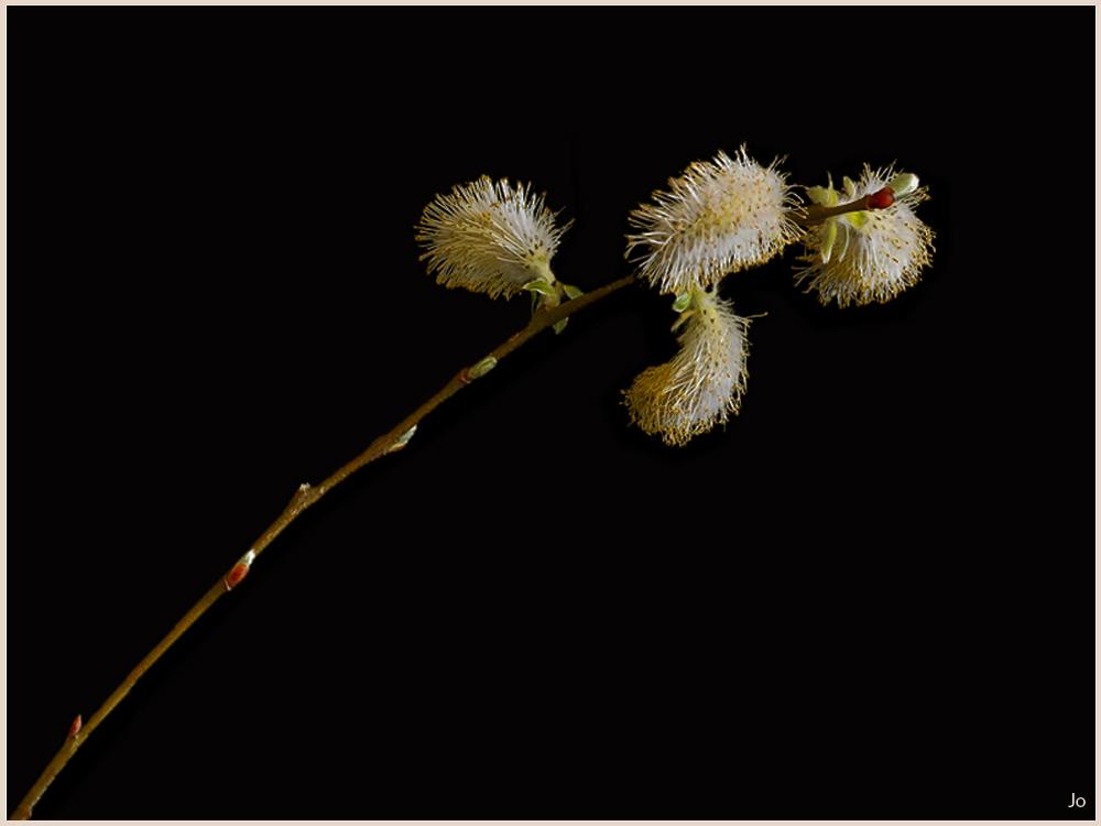 Un Salix Une_br10