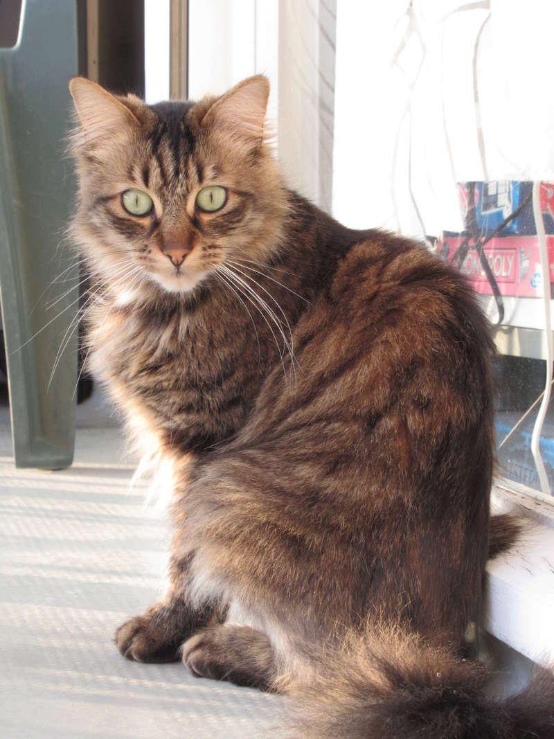 Léo, mâle européen tigré à poils longs, né le 15/05/15 12_04_12