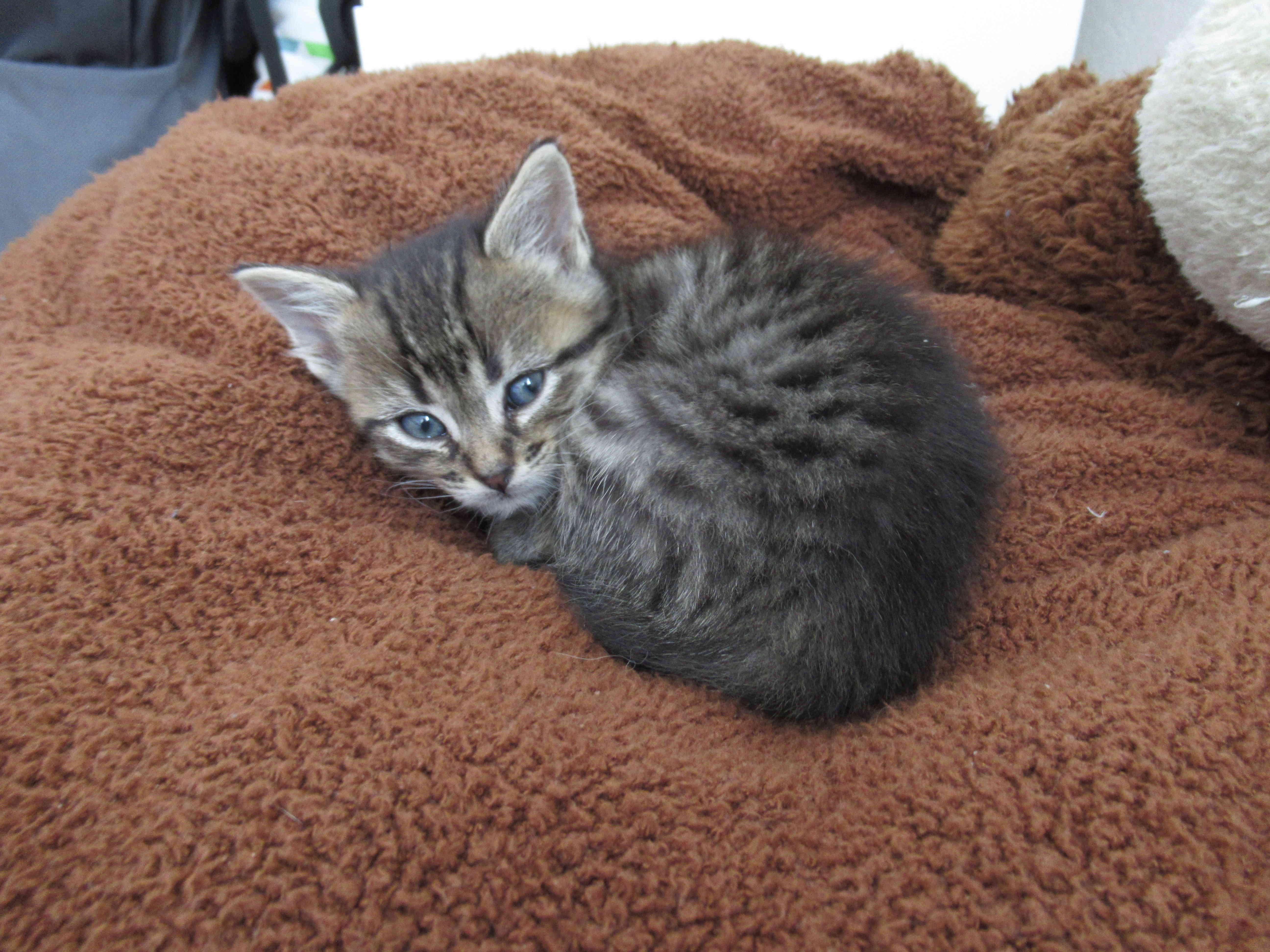 Oya, femelle type européenne tigrée, née le 5 avril 2018 19_mai10