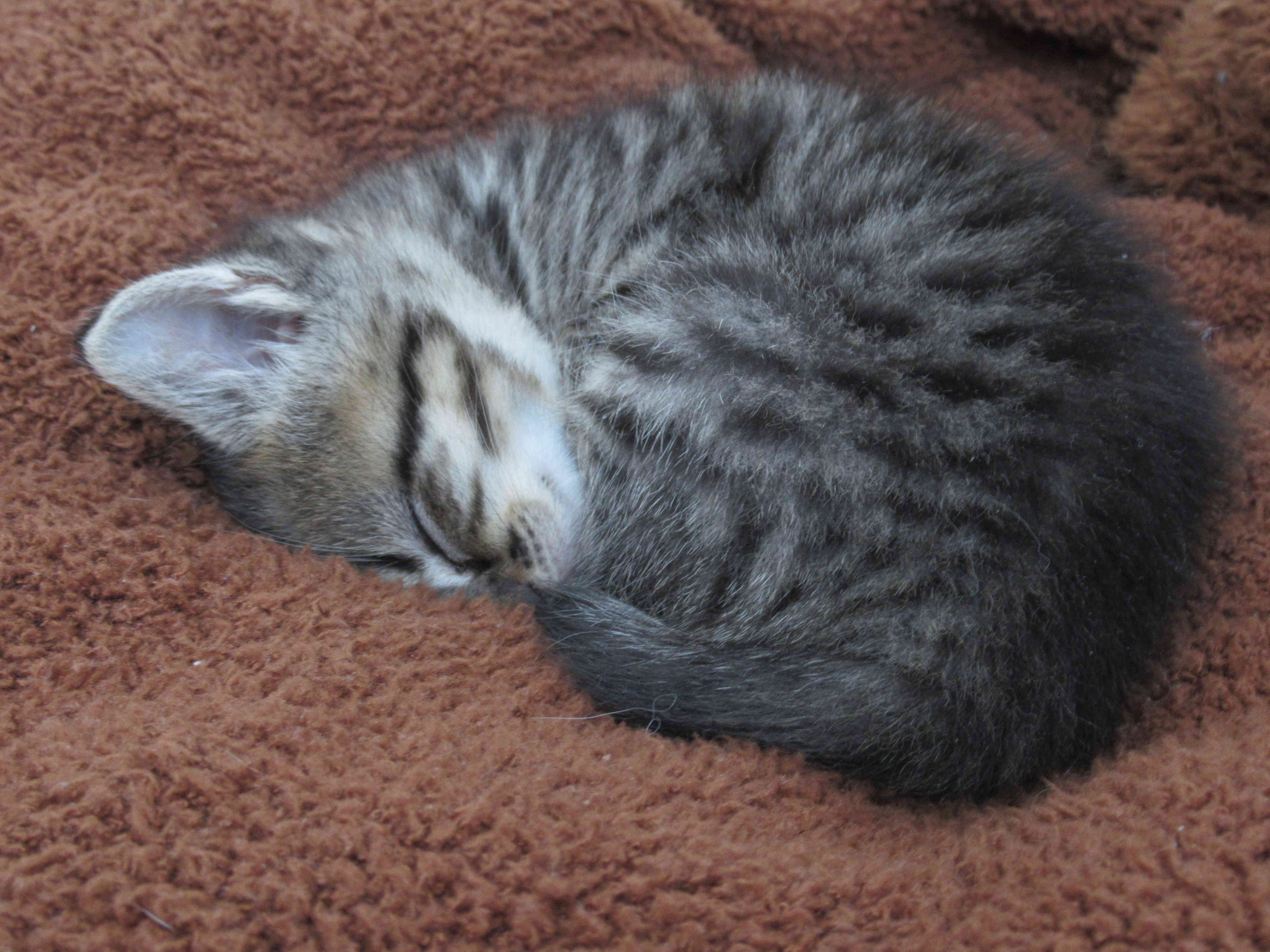 Oya, femelle type européenne tigrée, née le 5 avril 2018 19_mai11