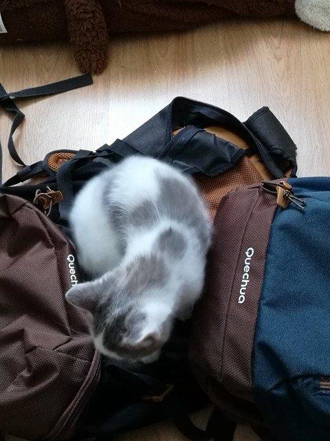 Ninja, mâle type européen blanc et gris arlequin né 15/09/2017 23548310