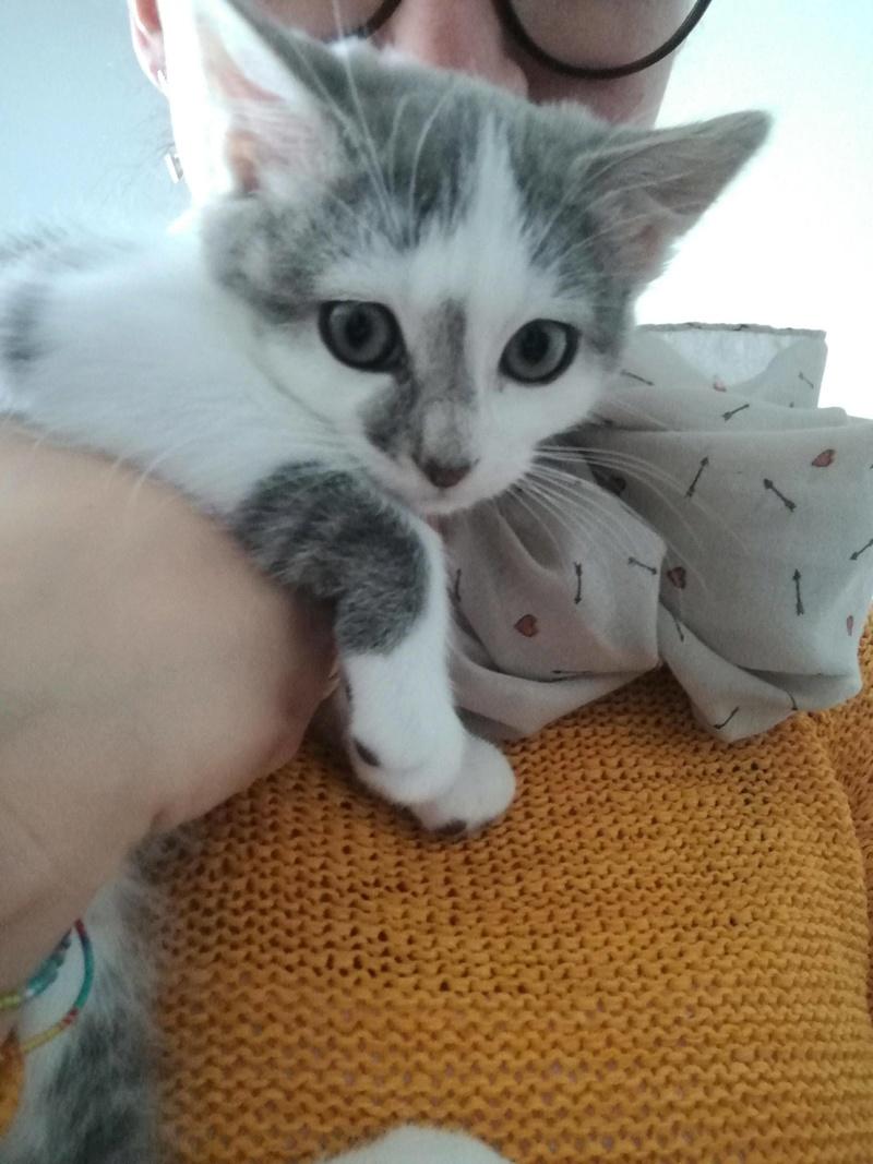 Ninja, mâle type européen blanc et gris arlequin né 15/09/2017 23730810