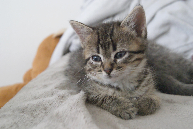 Oya, femelle type européenne tigrée, née le 5 avril 2018 25_mai10