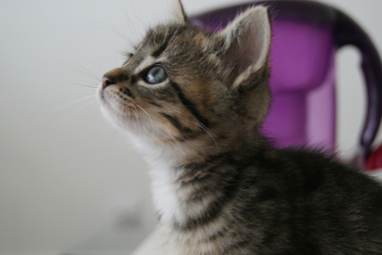Oya, femelle type européenne tigrée, née le 5 avril 2018 28_mai10