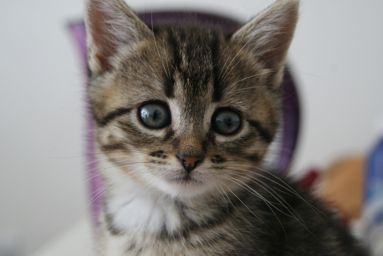 Oya, femelle type européenne tigrée, née le 5 avril 2018 28_mai11