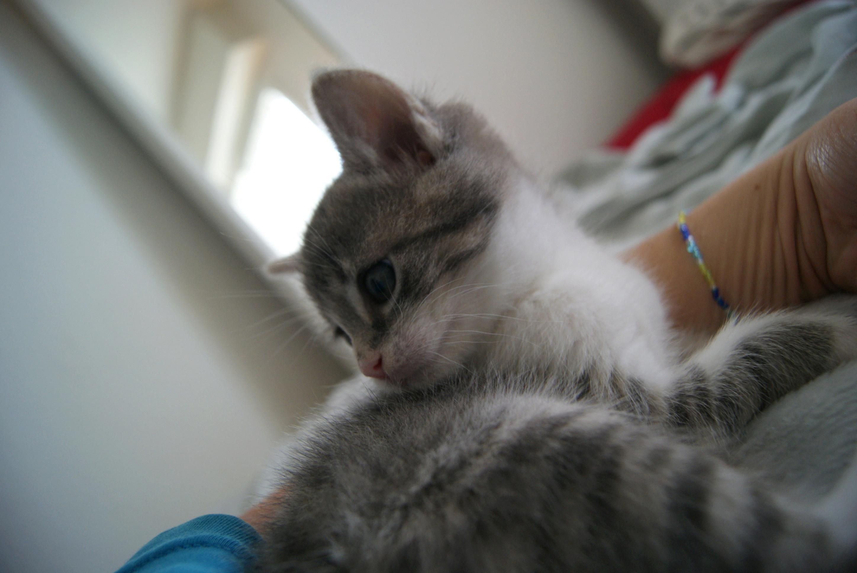 Owen, mâle type européen tigré gris et blanc, né le 5 avril 2018 28_mai15
