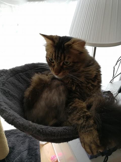 Léo, mâle européen tigré à poils longs, né le 15/05/15 30118310